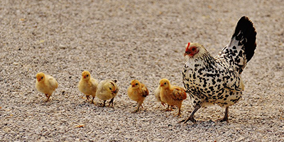 chicks-with-hen-catagorie-header.png